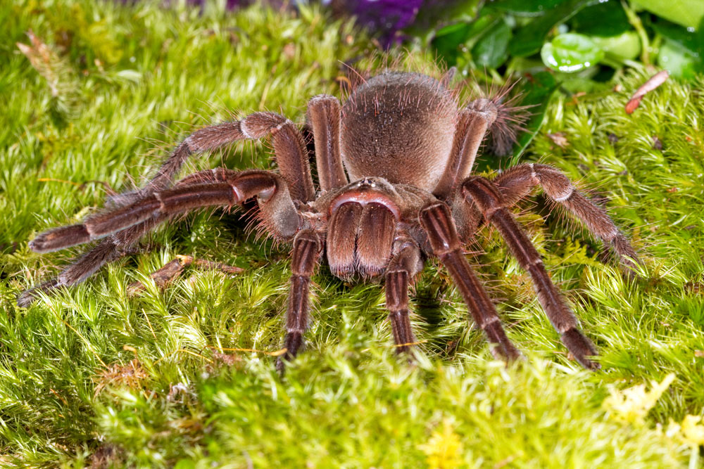 http://www.krcritters.com/Theraphosa_20blondi__20Goliath_20birdeating_20spider__20captive-0360_20low_20res.jpg Goliath